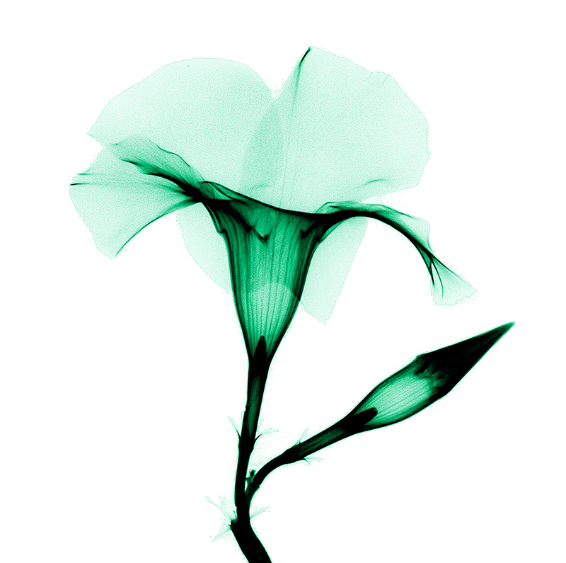 xray of mandevilla flower